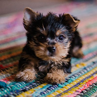Housetraining 101: How to Potty Train a Puppy