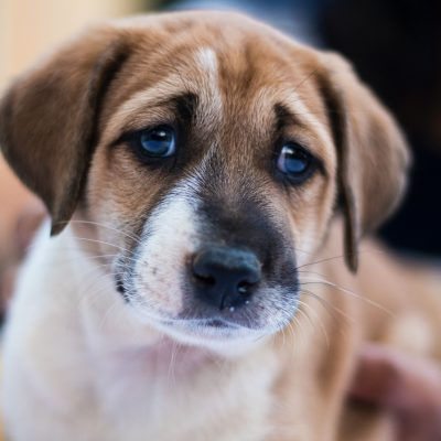10 Signs a Dog is in Pain